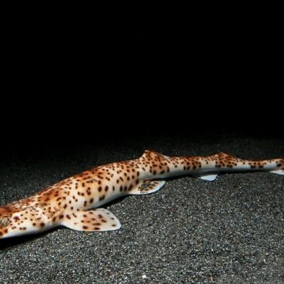 インドネシアトラザメ